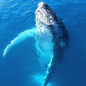 Portrait of a majestic humpback whale in australia
