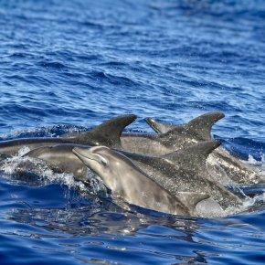 school of dolphins cruising the Allantic ocean
